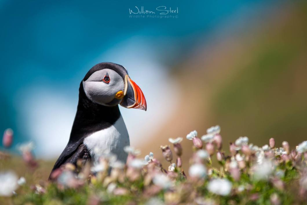 Colourful Puffin by William Steel Photography