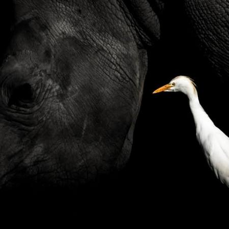 bird photographer of the year. rhino. william steel photography